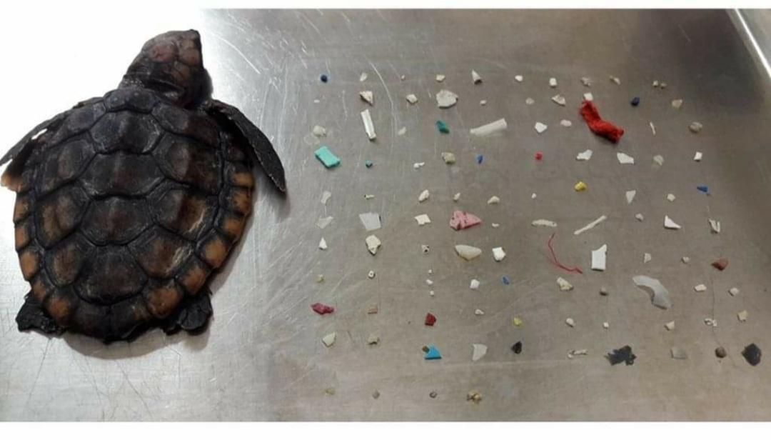 Muere tortuga bebé con 104 piezas de plástico en su interior